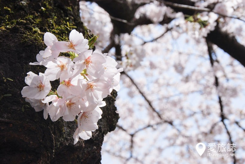 京都赏樱景点 哲学之道 44