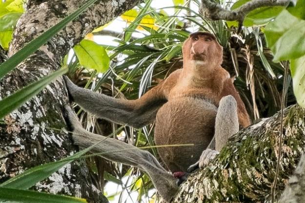 Proboscis monkey. Bako