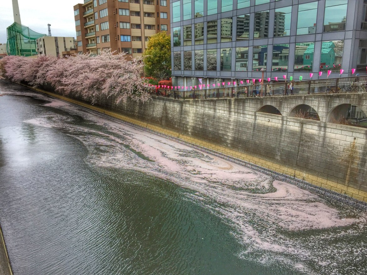 Meguro River Cherry blossom petals fall on sidewalks and in the river too