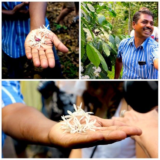 Plantacion de cafe en Kerala