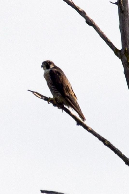 _DSC2458 Peregrine Falcon
