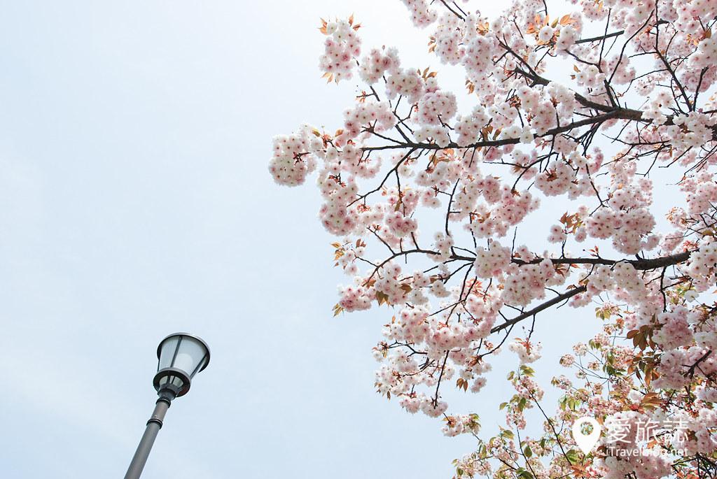 大阪造币局 樱花 30