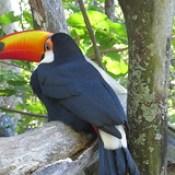 Toco toucan - Ramphastos toco