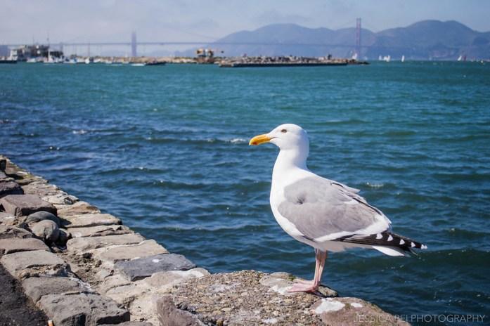 Seagull San Francisco Golden Gate Bridge