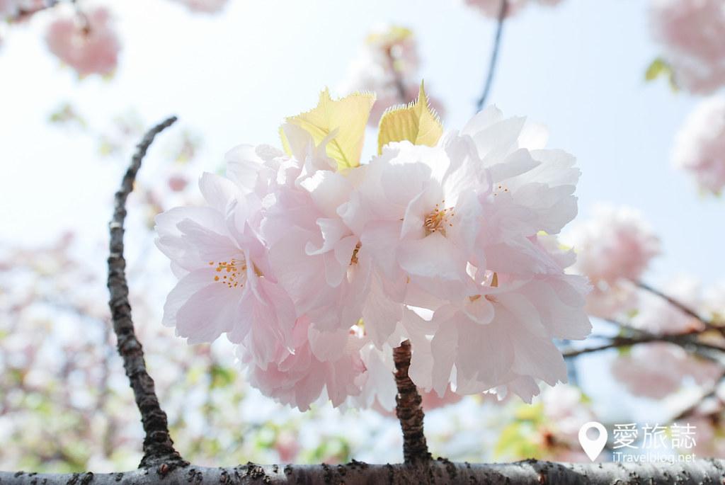 大阪造币局 樱花 18