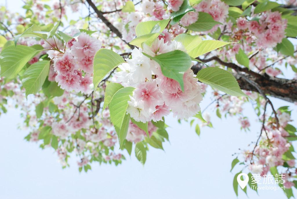 大阪造币局 樱花 10