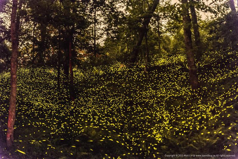 夏夜螢河 Summer Nights & Fireflies