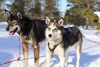 Huskies getting ready