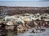Basking seals (2)