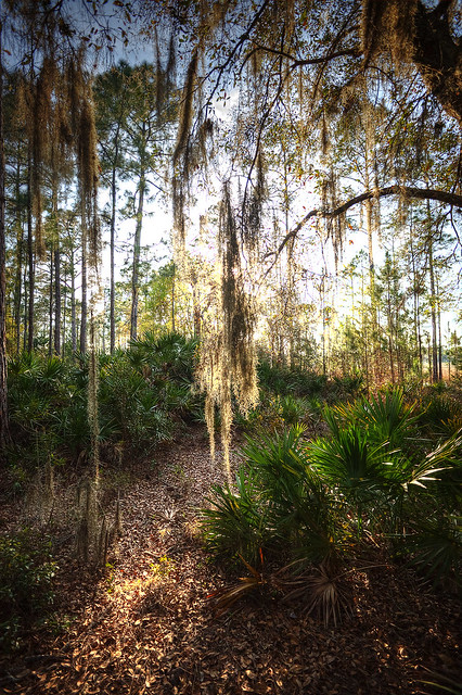 Spanish moss hanging from the trees in Starkey Wilderness Park.