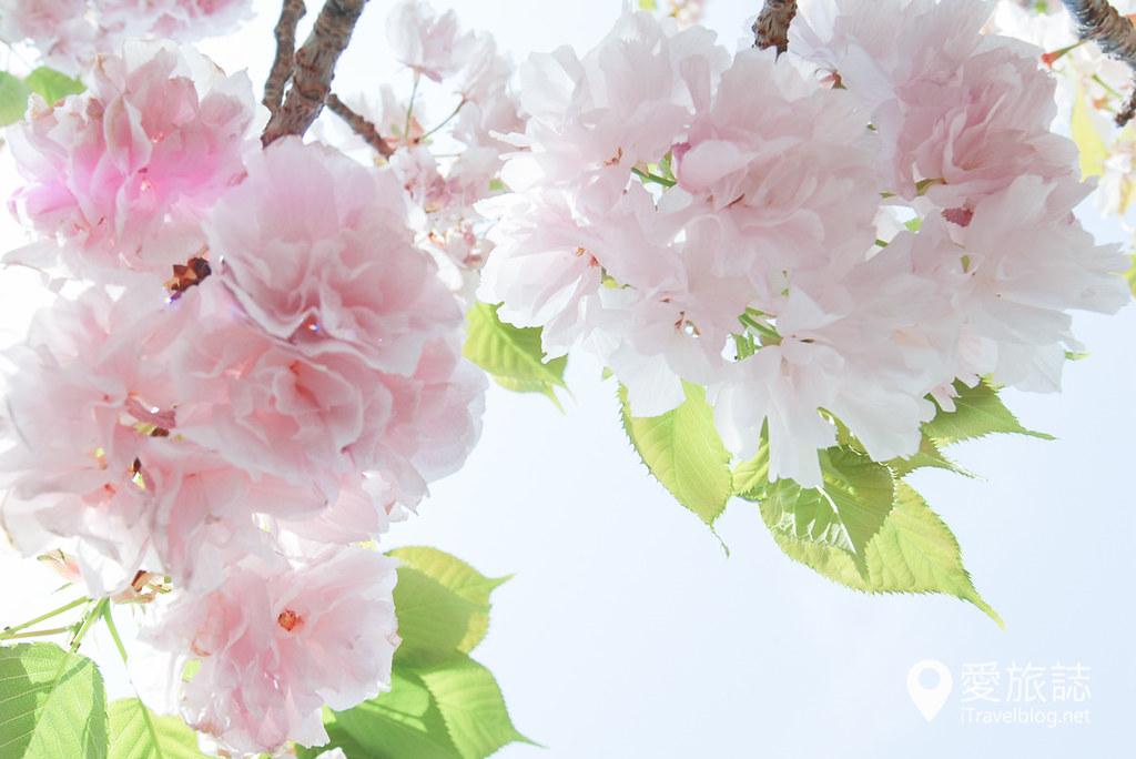 大阪造币局 樱花 13