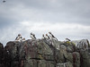Puffins on the rocks (1)