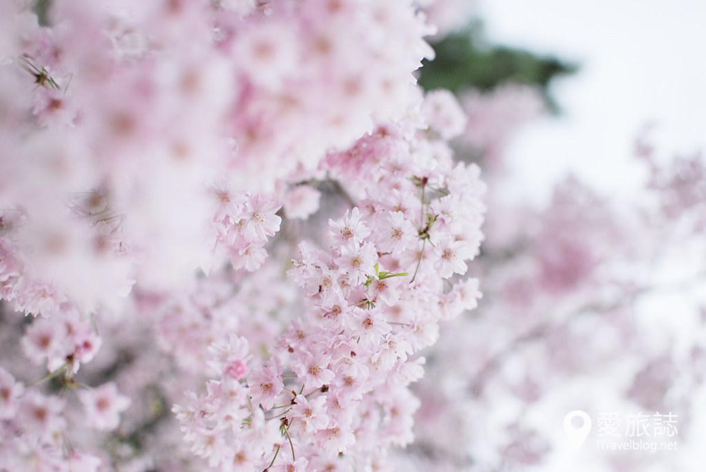 京都赏樱景点 半木之道 23