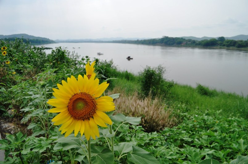 Sunflower on the Banks of the Mekong River, Chiang Khan, Thailand, March 24, 2015.