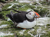 Puffin with sand eels (2)