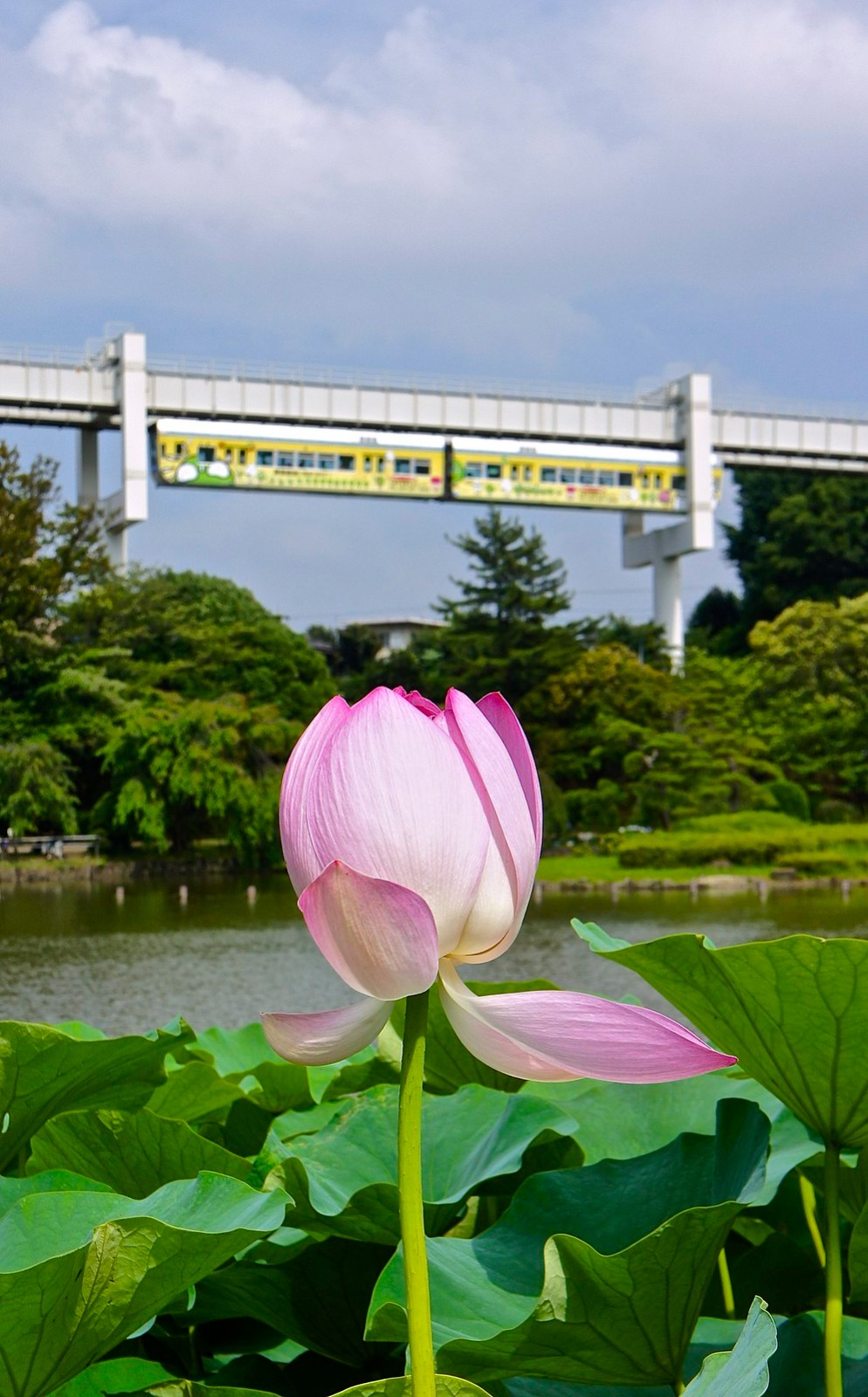 Summer lotus flowers at the chiba garden experience tokyo travel lotus flowers at chiba koen izmirmasajfo