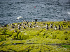 Puffins on the rocks (3)