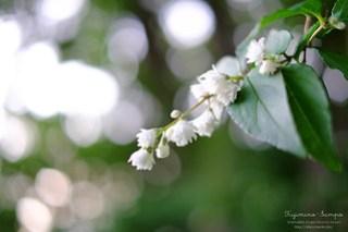 シロバナヤエウツギ 白花八重空木 20150522-26-DSCF3183