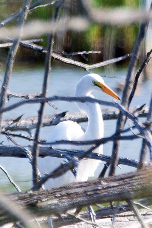 _DSC2304 Great Egret