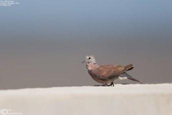 """""""Red Collared Dove"""" """"Streptopelia tranquebarica"""""""