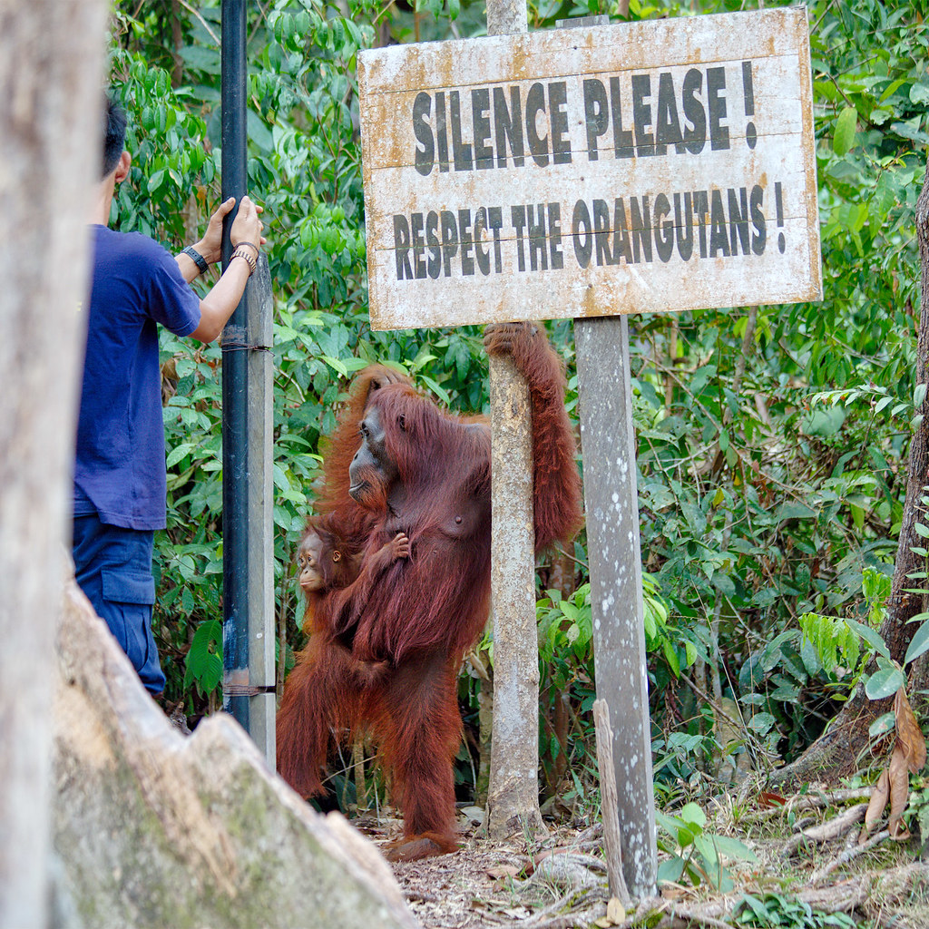 Mother and baby orangutan.