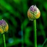 Ornamental Onion  Buds later Purple Sensation.