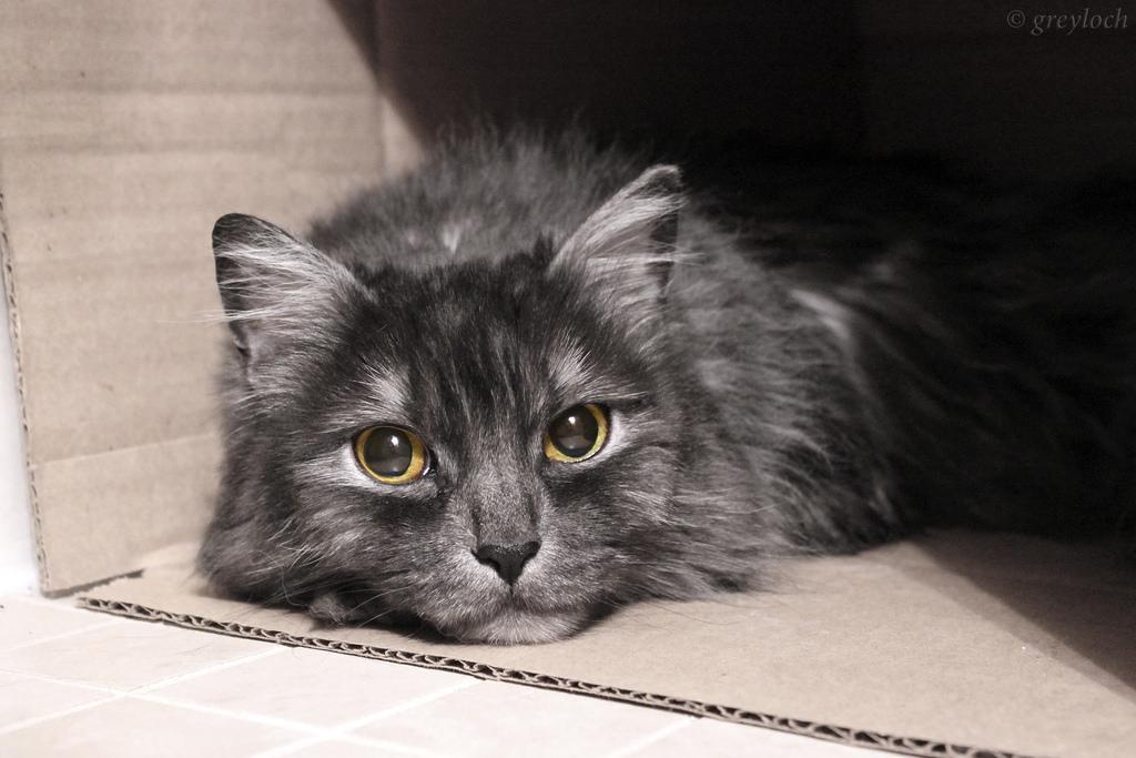 Imagen gratis de un gato dentro de una caja de cartón