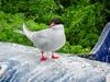 Tern on a boat