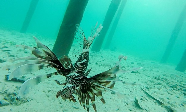 Lionfish under the dock. Bolilanga