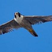 Peregrine Falcon (Falco peregrinus)