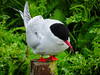 Arctic Tern on a post (1)