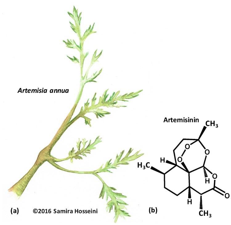 Fig-4-Artemisia-annua-plant-source-of-artemisinin