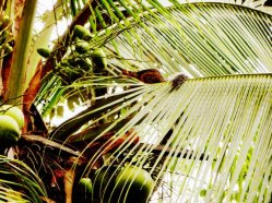 The squirrel in the coconut tree.