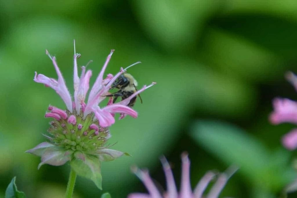 Beebalm with a bee on the flower