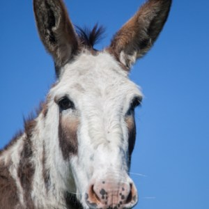 Image of a donkey against a blue sky