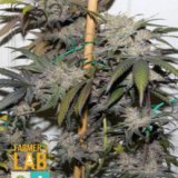 CBD remedy strain seeds