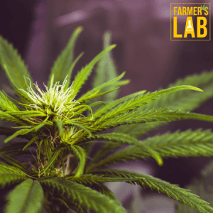 Cannabis Seeds Shipped Directly to Your Door in Kelowna, BC. Farmers Lab Seeds is your #1 supplier to growing Cannabis in Kelowna, British Columbia.