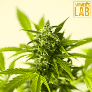 Cannabis Seeds Shipped Directly to Your Door in Pittsburg, KS. Farmers Lab Seeds is your #1 supplier to growing Cannabis in Pittsburg, Kansas.