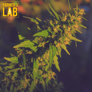 Cannabis Seeds Shipped Directly to Your Door in Richland Hills, TX. Farmers Lab Seeds is your #1 supplier to growing Cannabis in Richland Hills, Texas.