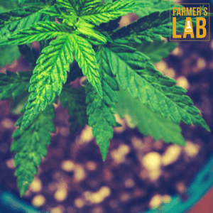 Cannabis Seeds Shipped Directly to Your Door in Ridgeland, MS. Farmers Lab Seeds is your #1 supplier to growing Cannabis in Ridgeland, Mississippi.