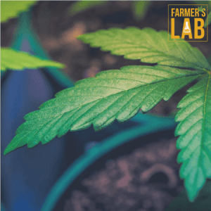 Cannabis Seeds Shipped Directly to Your Door in Saint-Lambert, QC. Farmers Lab Seeds is your #1 supplier to growing Cannabis in Saint-Lambert, Quebec.