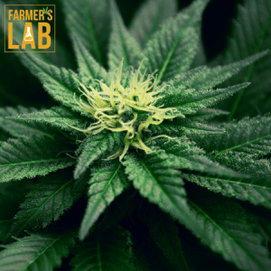 Cannabis Seeds Shipped Directly to Your Door in Spring Hill, FL. Farmers Lab Seeds is your #1 supplier to growing Cannabis in Spring Hill, Florida.