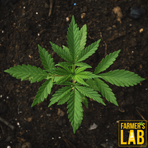 Marijuana Seeds Shipped Directly to Beauharnois, QC. Farmers Lab Seeds is your #1 supplier to growing Marijuana in Beauharnois, Quebec.