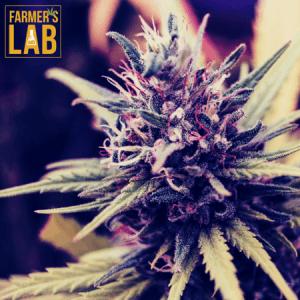 Marijuana Seeds Shipped Directly to Bill Arp, GA. Farmers Lab Seeds is your #1 supplier to growing Marijuana in Bill Arp, Georgia.