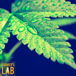 Marijuana Seeds Shipped Directly to Chicago, IL. Farmers Lab Seeds is your #1 supplier to growing Marijuana in Chicago, Illinois.