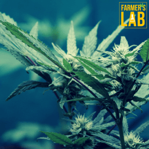 Marijuana Seeds Shipped Directly to Fond du Lac, WI. Farmers Lab Seeds is your #1 supplier to growing Marijuana in Fond du Lac, Wisconsin.