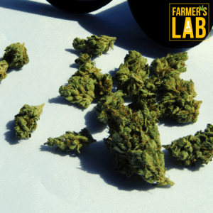 Marijuana Seeds Shipped Directly to Goldenrod, FL. Farmers Lab Seeds is your #1 supplier to growing Marijuana in Goldenrod, Florida.