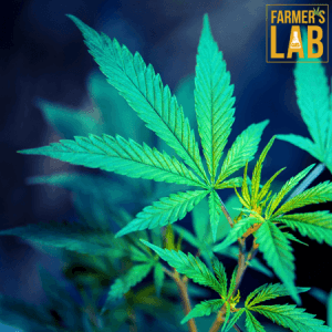 Marijuana Seeds Shipped Directly to Harvey, IL. Farmers Lab Seeds is your #1 supplier to growing Marijuana in Harvey, Illinois.