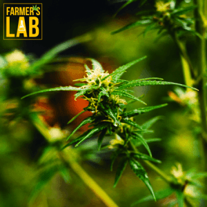 Marijuana Seeds Shipped Directly to La Pocatiere, QC. Farmers Lab Seeds is your #1 supplier to growing Marijuana in La Pocatiere, Quebec.
