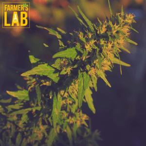 Marijuana Seeds Shipped Directly to McAllen, TX. Farmers Lab Seeds is your #1 supplier to growing Marijuana in McAllen, Texas.